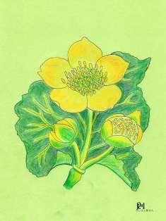0-72-00-marsh-marigold-ill-ms-web.jpg