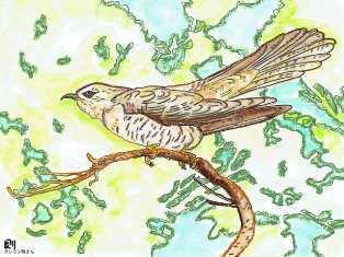 0-73-82-cuckoo-illi-ms-web.jpg