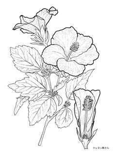 0-97-42-hibiscas-sen-web.jpg